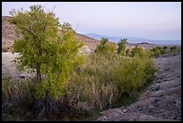 Willows and cottonwoods in Bonanza Springs. Mojave Trails National Monument, California, USA ( )