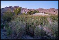 Desert riparian environment in Bonanza Springs. Mojave Trails National Monument, California, USA ( )
