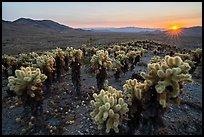 Sun setting over Bigelow Cholla Garden Wilderness. Mojave Trails National Monument, California, USA ( )