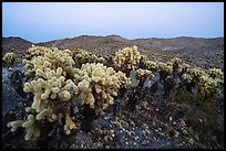 Bigelow Cholla cactus (Opuntia bigelovii) at dusk. Mojave Trails National Monument, California, USA ( )