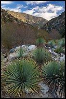 Yucca, San Gabriel River Canyon, early morning. San Gabriel Mountains National Monument, California, USA ( )