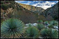 Yucca in East Fork San Gabriel River Canyon. San Gabriel Mountains National Monument, California, USA ( )