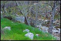 Green grass in San Gabriel River Canyon in late winter. San Gabriel Mountains National Monument, California, USA ( )