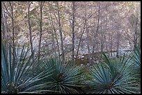Yucca, trees, San Gabriel River, and canyon walls. San Gabriel Mountains National Monument, California, USA ( )