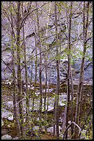 Newly leafed trees, river, and gorge. San Gabriel Mountains National Monument, California, USA ( )