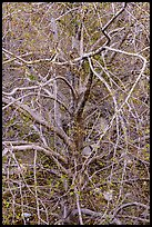 Tree with multiple branches just leafing out. San Gabriel Mountains National Monument, California, USA ( )