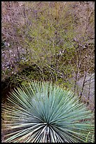 Yucca and trees with new leaves. San Gabriel Mountains National Monument, California, USA ( )