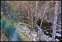 East Fork San Gabriel River gorge with yuccas and trees. San Gabriel Mountains National Monument, California, USA ( )