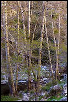 Trees with new leaves along East Fork of San Gabriel River. San Gabriel Mountains National Monument, California, USA ( )