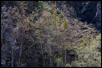 Backlit trees with new leaves, San Gabriel River Canyon. San Gabriel Mountains National Monument, California, USA ( )