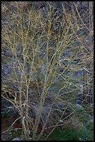 Backlit bare tree, San Gabriel River Canyon. San Gabriel Mountains National Monument, California, USA ( )