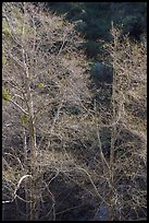 Backlit tree branches with new leaves. San Gabriel Mountains National Monument, California, USA ( )