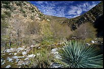Yucca, trees, San Gabriel River in canyon. San Gabriel Mountains National Monument, California, USA ( )
