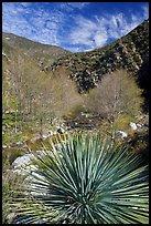 Yucca, trees, East Fork San Gabriel River. San Gabriel Mountains National Monument, California, USA ( )
