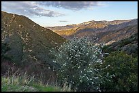 Flowering shurbs and Twin Peaks at sunrise. San Gabriel Mountains National Monument, California, USA ( )
