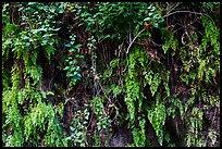 Ferns on canyon wall. San Gabriel Mountains National Monument, California, USA ( )
