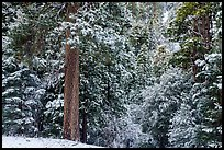 Forest with fresh snow, Valley of the Falls. Sand to Snow National Monument, California, USA ( )