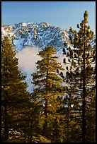 Pine trees, low clouds, and Galena Peak in winter. Sand to Snow National Monument, California, USA ( )