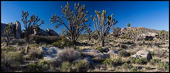 Desert landscape with Joshua trees, rocks, and distant mountains. Mojave National Preserve, California, USA (Panoramic color)