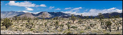 Mojave Desert landscape with Joshua trees and mountains. Mojave National Preserve, California, USA (Panoramic color)
