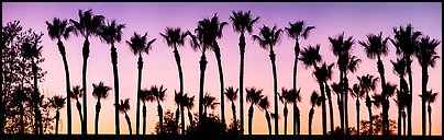 Row of palm trees at sunset. Los Angeles, California, USA (Panoramic color)