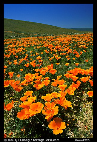 California Poppies in spring, hills W of the Preserve. Antelope Valley, California, USA (color)