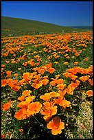 California Poppies in spring, hills W of the Preserve. Antelope Valley, California, USA