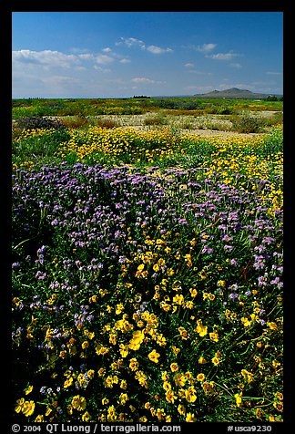 Yellow and purple desert flowers on mud flats. Antelope Valley, California, USA (color)