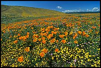California Poppies and desert Marygold, hills W of the Preserve. Antelope Valley, California, USA