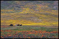 Horseback riders in hills covered with multicolored flowers. Antelope Valley, California, USA (color)