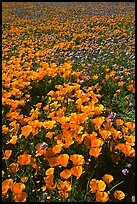 Field of California Poppies and purple flowers. Antelope Valley, California, USA