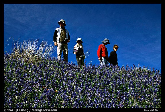 Family strolling in a field of lupines. Antelope Valley, California, USA