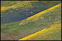 Yellow flowers delineating ridges, Gorman Hills. California, USA