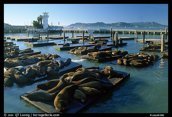 California Sea Lions at Pier 39, late afternoon. San Francisco, California, USA (color)