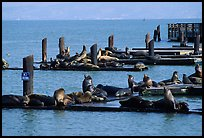Sea Lions, Fisherman's Wharf. San Francisco, California, USA