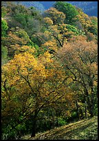 Oak trees with fall colors,  Sunol Regional Park. California, USA