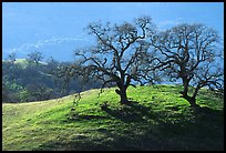 Dendritic branches of Oak trees on hillside curve, early spring, Joseph Grant County Park. San Jose, California, USA (color)