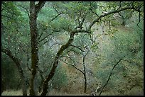 Oak Trees, Sunol Regional Park. California, USA