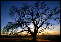 Old Oak tree profiled at sunset, Joseph Grant County Park. San Jose, California, USA (color)