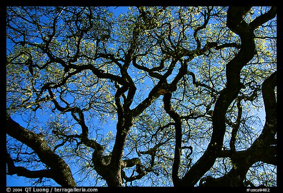 Oak tree in spring. Menlo Park,  California, USA