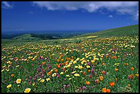 Meadows in the spring, with the Pacific ocean in the distance,  Russian Ridge Open Space Preserve. Palo Alto,  California, USA