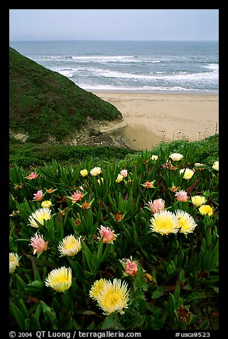 Iceplant flowers and Ocean. San Mateo County, California, USA