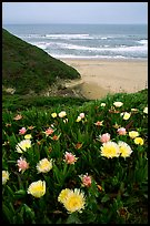 Iceplant flowers and Ocean. San Mateo County, California, USA (color)