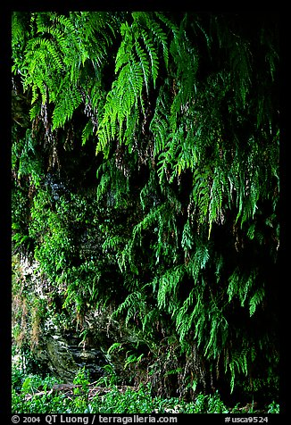 Fern grotto, Wilder Ranch State Park. California, USA