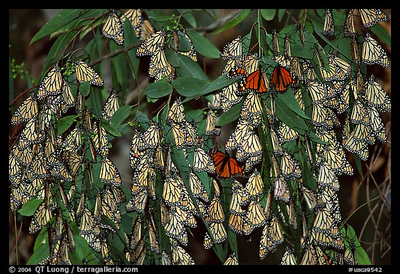 Cluster of Monarch butterflies, Natural Bridges State Park. Santa Cruz, California, USA