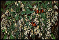 Cluster of Monarch butterflies, Natural Bridges State Park. Santa Cruz, California, USA (color)
