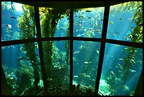 Kelp exhibit, Monterey Aquarium, Monterey. Monterey, California, USA ( color)