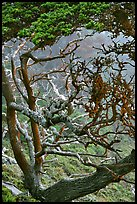 Trees covered with Carotene, Allan Memorial Grove. Point Lobos State Preserve, California, USA ( color)