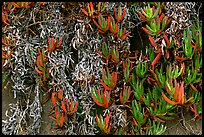 Ice plant. Carmel-by-the-Sea, California, USA ( color)