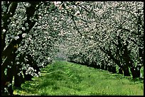 Orchards trees in bloom, San Joaquin Valley. California, USA (color)